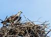 Osprey @ Bethel Beach Natural Area Preserve - Matthews County, VA