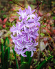 Hyacinth (Hyacinthus) @ Lewis Ginter Botanical Garden - Richmond, VA