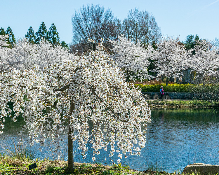 Weeping Cherry @ Lewis Ginter Botanical Garden - Richmond, VA, USA