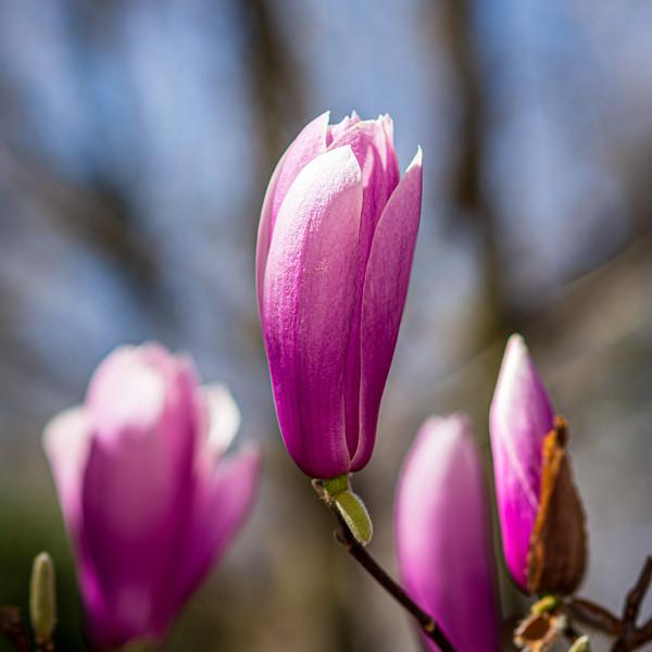 Tulip Poplar or Magnolia @ Lewis Ginter Botanical Garden - Richmond, VA, USA