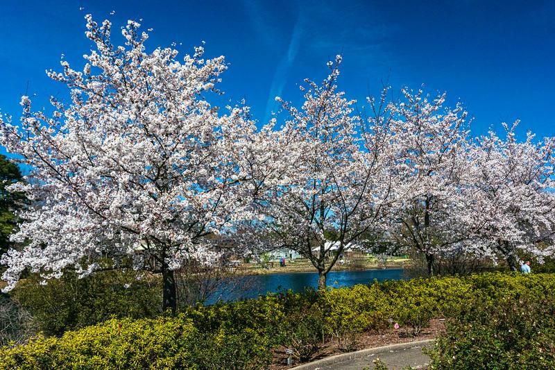 Cherry Trees @ Lewis Ginter Botanical Garden - Richmond, VA, USA