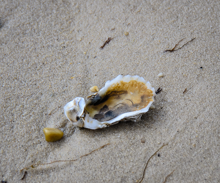 Oyster Shell @ Savage Neck Dunes NAP - Northampton County, VA