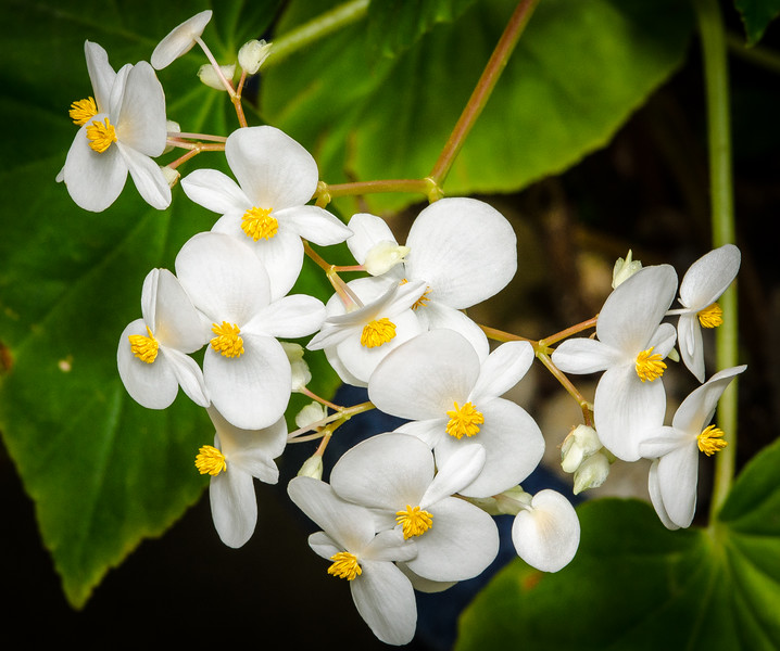 White Flowers @ Norfolk Botanical Garden - Norfolk, VA
