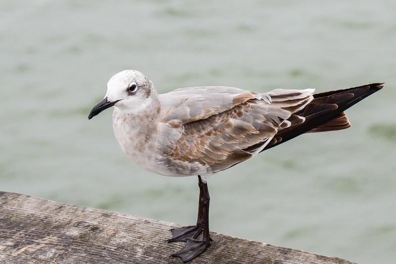 juvenile Laughing Gull (Leucophaeus atricilla) @ Chesapeake Bay Bridge Tunnel - Virginia Beach, VA