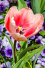 Tulip @ Norfolk Botanical Garden - Norfolk, VA