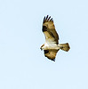Osprey Hunting @ Virginia Aquiarium - Virginia Beach, VA