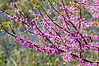 Eastern Redbud @ Virginia Aquiarium - Virginia Beach, VA