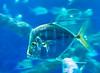 Lookdown Fish @ Virginia Aquiarium - Virginia Beach, VA