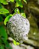 Bald-faced Hornet Nest @ Brush Creek Falls - Athens, Mercer County, WV