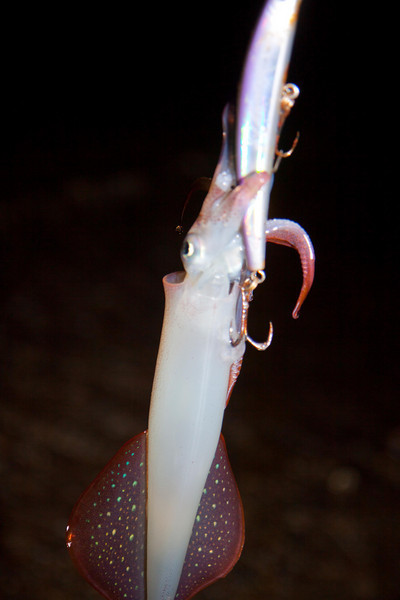 squid caught while trolling a plug.