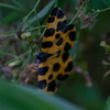 Brazil, moth