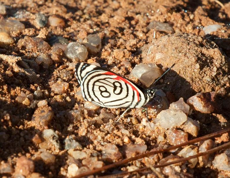Brazil, 88 spot butterfly
