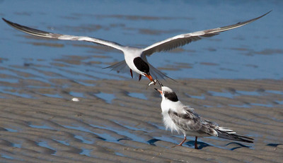 Baby Tern being fed on Monomoy Island