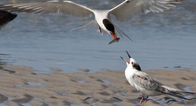Baby Tern being fed on Monomoy Island