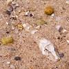 sea robin fish