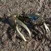 fiddler crab near N .Sunken Meadow Road