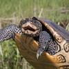 terrapin turtle