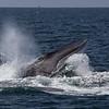 Fin-back whale breaching.