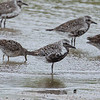 black bellied plover with short billed dowitchers