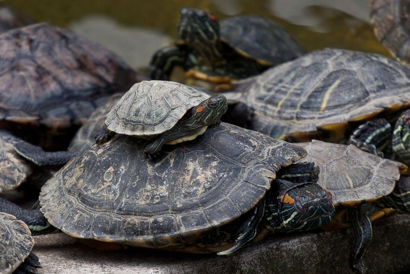turtles at the Guiyuan Temple.