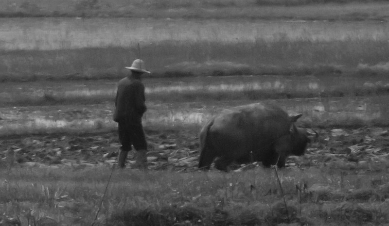 this was captured from long range.  Farmer is tilling field with water buffalo. Note whip in his hand and ropes going to the yoke.