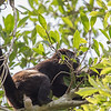 howler eating fruit in tree
