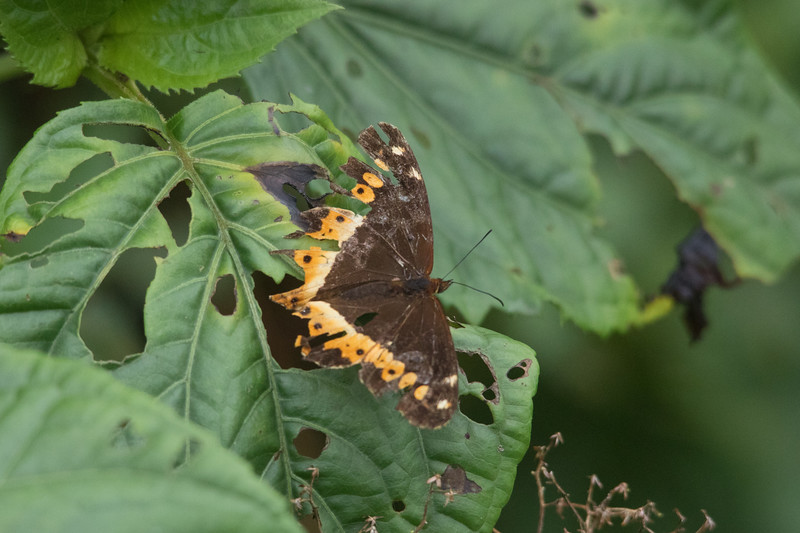 this butterfly matches the holey leaf it is on.