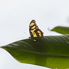 malachite butterfly watching the spectacle.