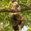 three toed sloth.