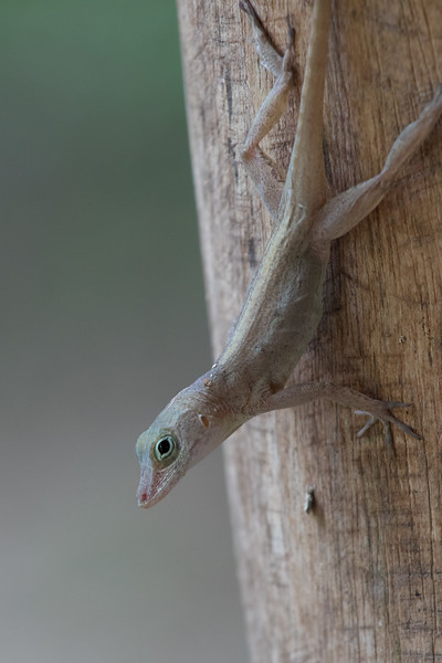 female anole watching is eat a late lunch in Puerto Viejo while we wait for our rooms to be ready.