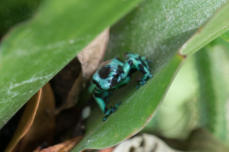 Blue-Green Poison Dart Frog.   This frog was also watching us eat lunch. Andy noticed it in a garden planting next to our outdoor table.