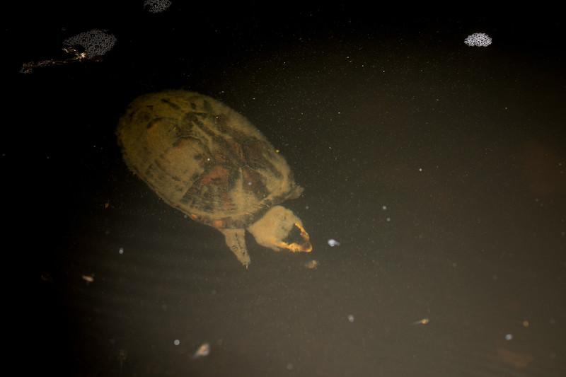 turtle eating tadpoles
