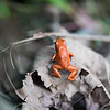 another strawberry poison dart frog. this one has spots which help give its name, but it is also more orange then red.