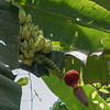 male and female part of banana flower/fruit