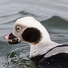 Long-Tailed duck feeding on Slipper shell snails