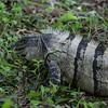 black spiny-tailed iguana at foot of ruins