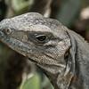 black spiny-tailed iguana on doc near Celestun