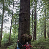 old growth sitka spruce.
