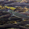 Pink salmon at the mouth of the Indian River.  The pink salmon, along with a very few larger chum salmon,  were gathering near the mouths of all rivers in Sitka.  They are transforming to their spawning form and waiting for the right time to migrate up the rivers to spawn.  These pink salmon, locally called humpys, because of the exaggerated humped back the male salmon get in their spawning form.  The salmon at the bottom of the image is starting to grow this hump.