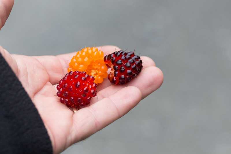These salmon berries were everywhere, along all roads and trails or wherever there is clearing in the forests.  The bushes were full of very large ripe fruit.