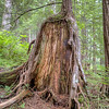 tree growing over old stump.  This is very common.  Eventually, the stump will rot away, and leave an arch or large hollow at the base of this tree.