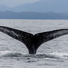 hump back whale in Sitka Bay.