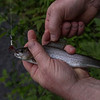 Small grayling caught in mountain lake. (Herring cove trail).