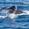 Whale Watching in Hervey Bay, September 2010