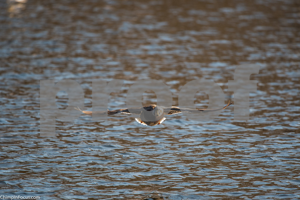 Ducks-Dec 2017
