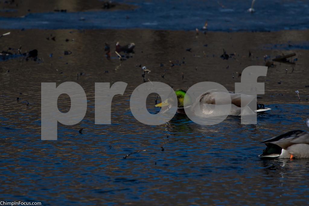 River Ducks-Dec 2017
