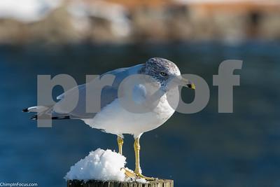 Gull-Dec 2017