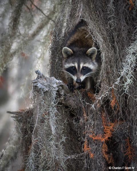 Raccoon in Spanish Moss