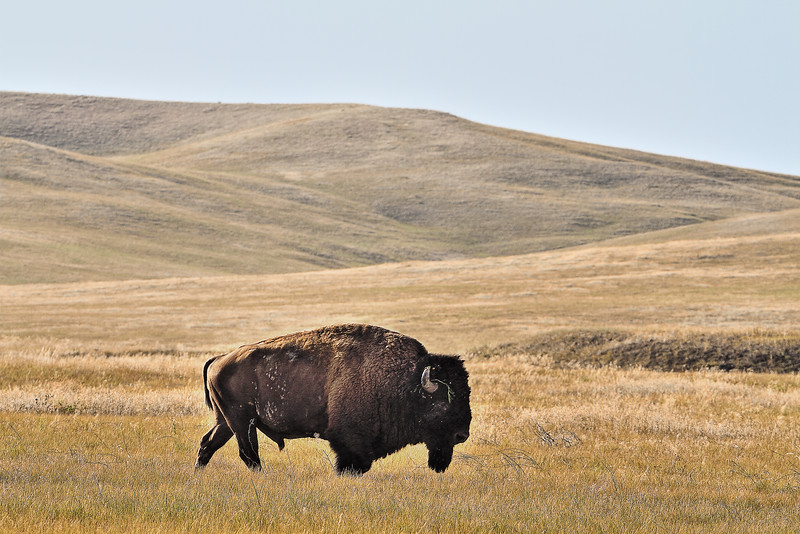 Bison near Fairburn south of Rapid City