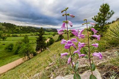 Wildflowers in the Black Hills